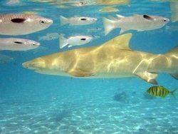 attaque requin martinique