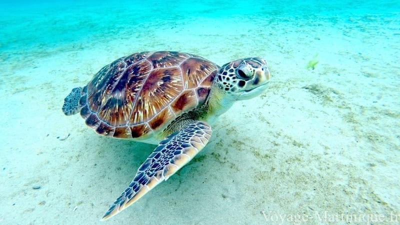 tortue marine martinique