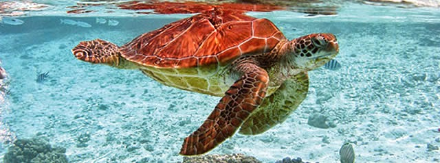 tortue martinique