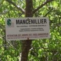 mancenillier martinique