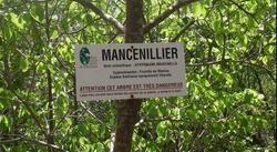mancenillier martinique