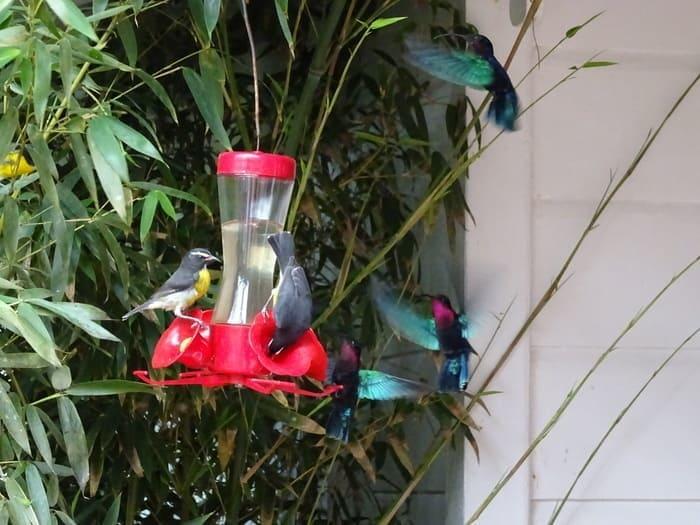 colibri balata