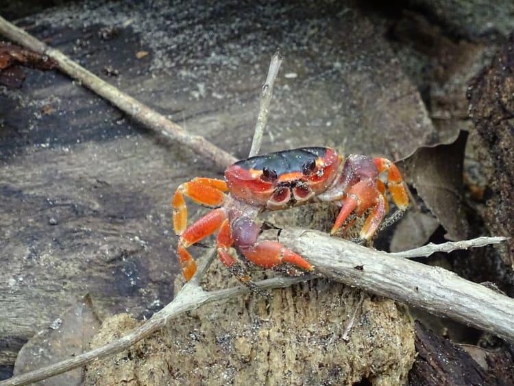 crabe de terre martinique