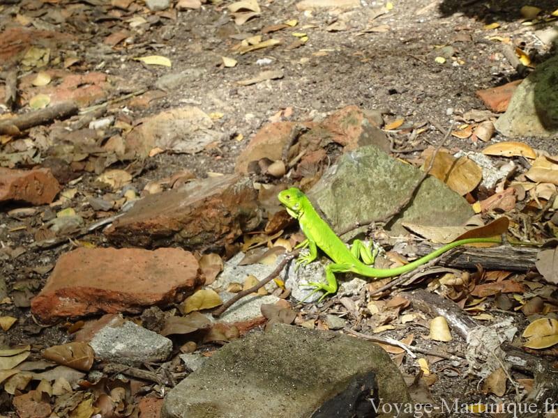 bébé iguane chancel