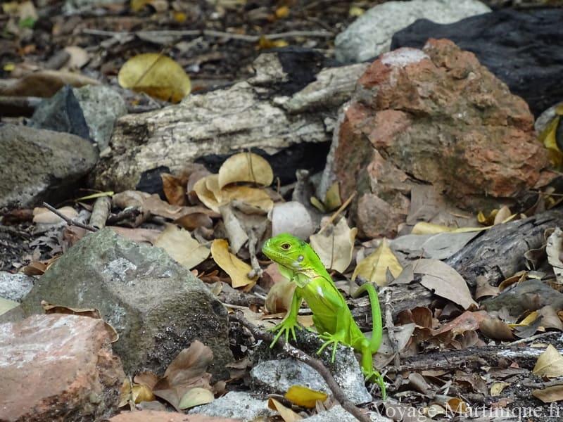 bébé iguane martinique