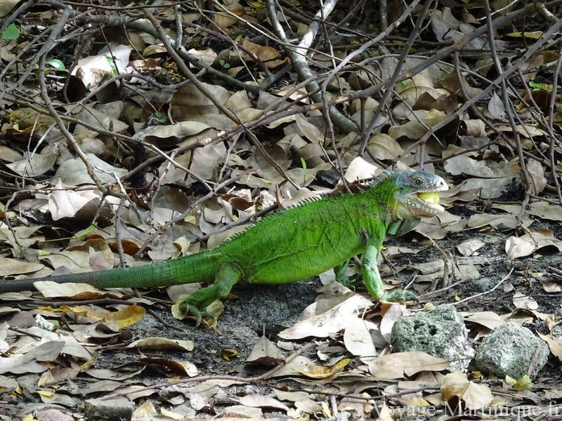 femelle iguane martinique