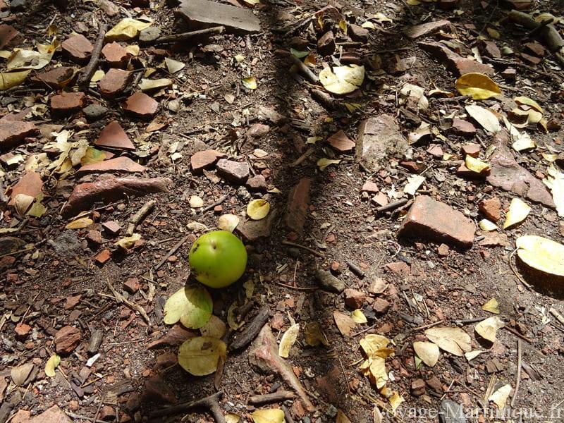fruit mancenillier