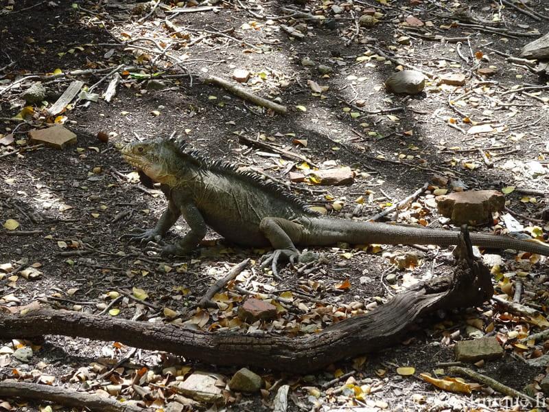 iguane male martinique