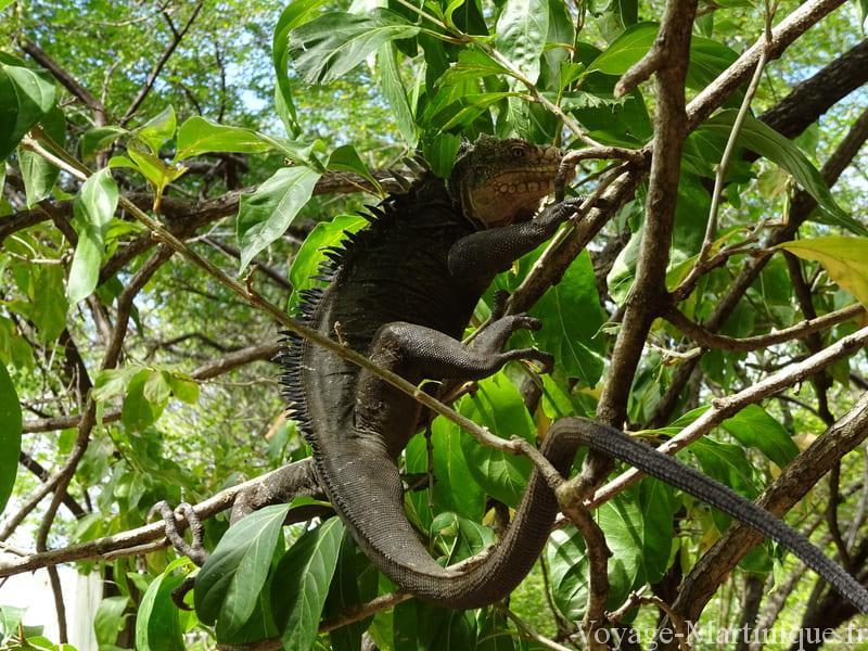 Iguanes Martinique