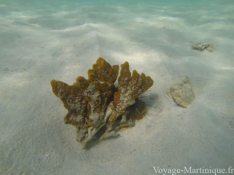 corail oursin martinique