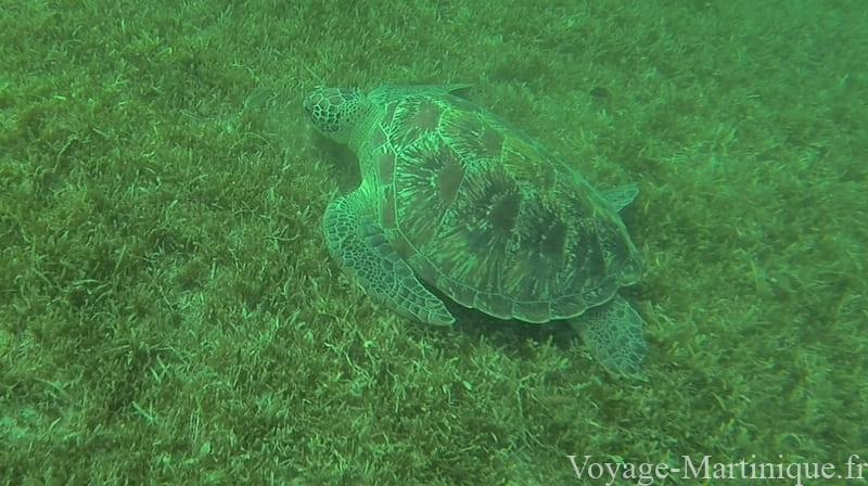 tortues en martinique