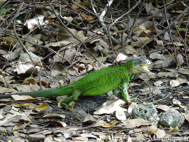 Iguane Martinique